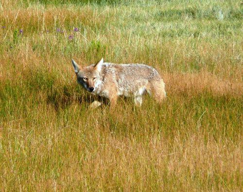 Coyote in Rocky Mtn Natl Park