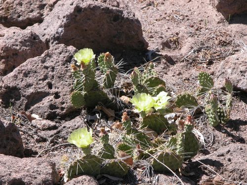 Cactus on Deertrap Mesa