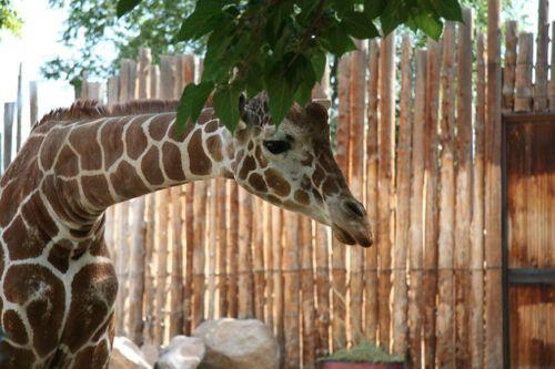 Giraffe at Biopark